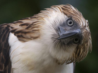 Critically endangered: The Philippine Eagle - What Do We Know After a 100 years